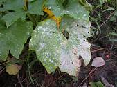 Affordable Tree Care Insect & Disease Control Services - Powdery Mildew