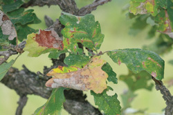 Affordable Tree Care Insect & Disease Control Services - Bur Oak Blight